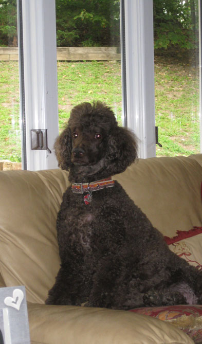 Max-the-poodle