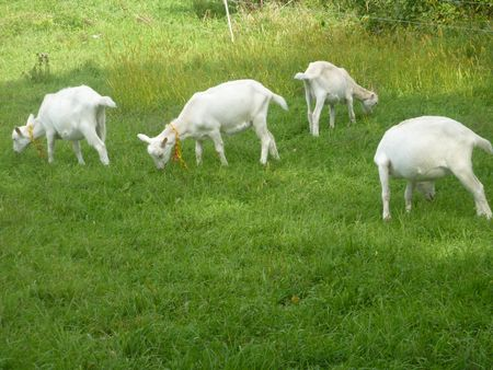 Goats Ardith Mae